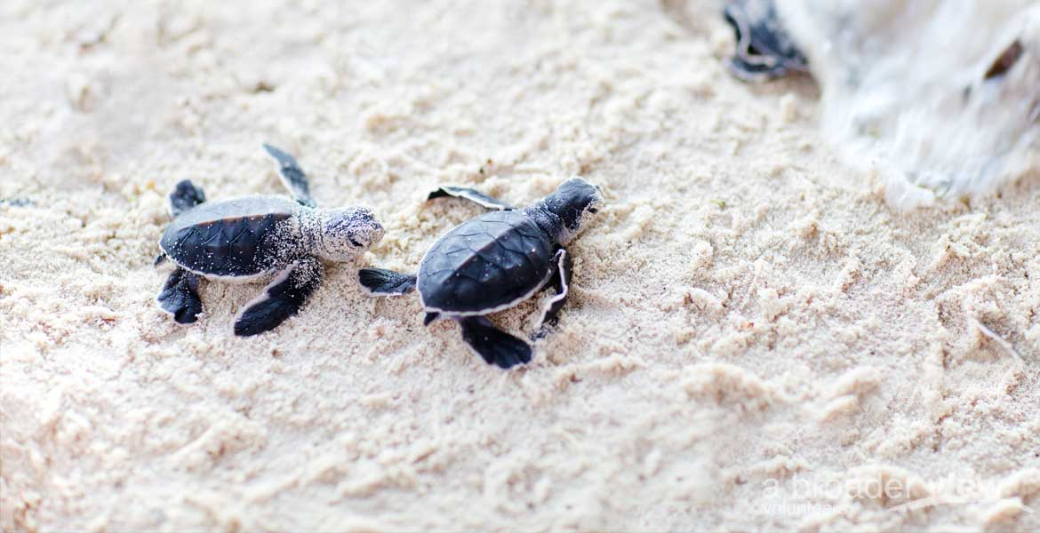 volunteer Costa Rica Caribbean Turtles