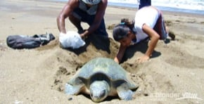 Volunteer Costa Rica: Sea Turtle Internship