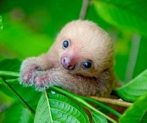 Costarica Sloth Mammal Conservation Texto