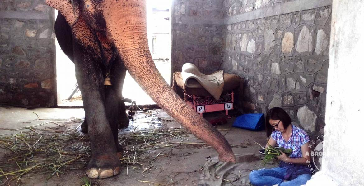 Volunteer in India jaipur elephant Care